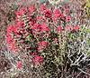 Castilleja angustifolia 1