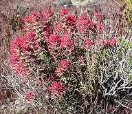 Castilleja angustifolia 1.jpg