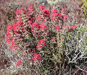 Castilleja angustifolia - Image: Castilleja angustifolia 1