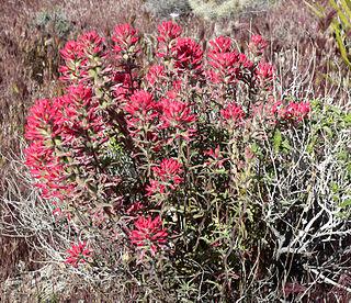 <i>Castilleja angustifolia</i> species of plant