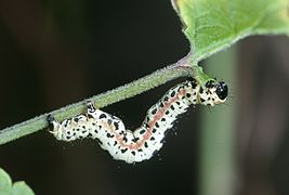 Caterpillar Abraxas grossulariata 01.jpg