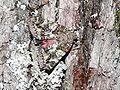 Catocala sponsa - Großes Eichenkarmin 01 (HS).JPG