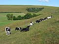 Cattle on Teglease Down, Hambledon - geograph.org.uk - 1593167.jpg