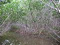 Cayos Mangroven03.jpg