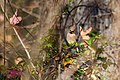 Cedar waxwing (25526676248).jpg