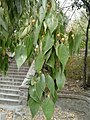 Celtis australis leaves and fruits.jpg