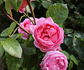Cemetery pink roses at Theydon Bois, Essex, England.JPG