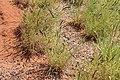 Cenchrus setiger birdwood grass west Qld 8418.jpg