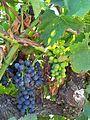 Cep et raisins.jpg