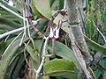 Ceropegia subsp serpentinaCrisHighamsPhoto.jpg