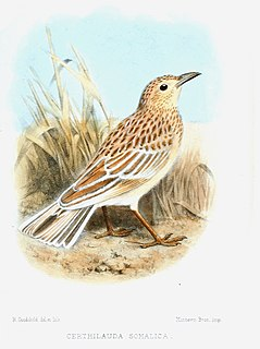 Somali lark species of bird