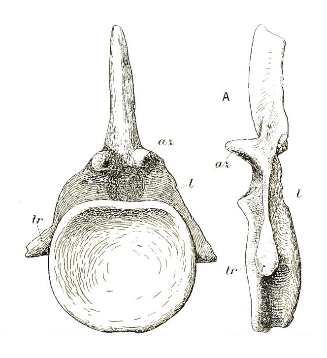 Cetiosauriscus anterior caudal