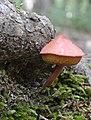 Chalciporus rubinellus (Peck) Singer 635642.jpg