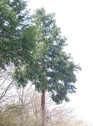 Chamaecyparis obtusa - Tree in Osaka-fu, Japan