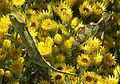Chamaeleo dilepis isabellinus (21811098370).jpg