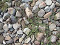 Chamaesyce maculata (L.) Small (AM AK360262-4).jpg