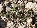 Chamaesyce serpyllifolia ssp serpyllifolia 7.jpg