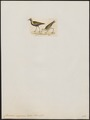 Charadrius virginicus - 1820-1860 - Print - Iconographia Zoologica - Special Collections University of Amsterdam - UBA01 IZ17200189.tif