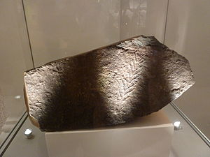 Charnia - Charnia masoni index fossil, New Walk Museum, Leicester