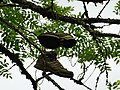 Chaussures sur un arbre @ Seynod (50884835202).jpg
