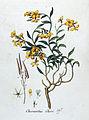 Cheiranthus cheiri — Flora Batava — Volume v4.jpg