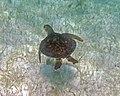 Chelonia mydas (green sea turtle) (San Salvador Island, Bahamas) 7 (15998072117).jpg