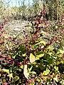 Chenopodium chenopodioides sl4.jpg