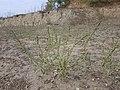Chenopodium urbicum sl40.jpg