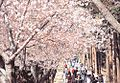 Cherry Blossom 1.jpg