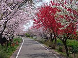Cherry and peach blossoms at rinrin road - panoramio.jpg