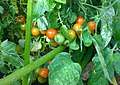Cherry tomatoes in the school garden (21232228746).jpg