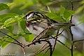 Chestnut-sided Warbler (male) Sabine Woods TX 2018-04-28 07-15-03 (42200330991).jpg