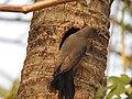 Chestnut tailed starling-kattampally - 8.jpg