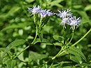 Chromolaena odorata (Common floss flower) W IMG 1450.jpg