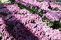 Chrysanthemum Padre 1zz.jpg
