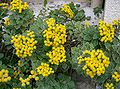 Chrysanthemum pacificum1.jpg