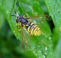 Chrysotoxum verralli. - Flickr - gailhampshire (1).jpg