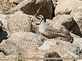 Chukar Partridge (Alectoris chukar) (33414519598).jpg