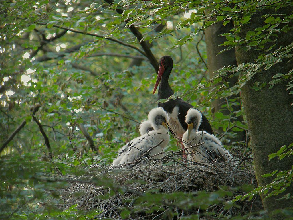 Bocian čierny s mláďatami na hniezde