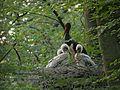 Ciconia nigra -Eastern Ardennes, Belgium.jpg