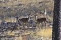Ciervos en la Serranía de Cuenca - panoramio.jpg