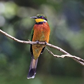 Description de l'image Cinnamon-chested bee-eater (Merops oreobates).jpg.