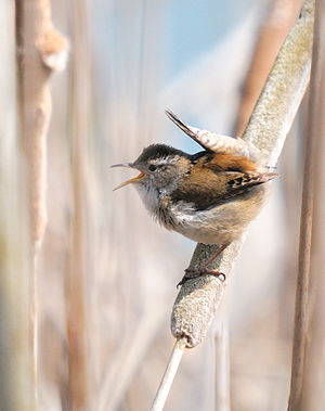 Wren - Marsh wren (Cistothorus palustris)