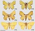 Citralla rumina (10.3897-zookeys.815.27335) Figures 115–117.jpg
