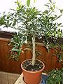 Citrus.reticulata.2497.JPG