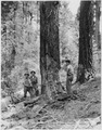 Civilian Conservation Corps in California, Camp Wolverton, Sequoia National Park - NARA - 197077.tif