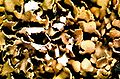 Cladonia apodocarpa-2.jpg