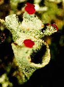 Cladonia pleurota-4.jpg