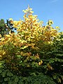 Cladrastis kentukea Yellowwood turning yellow in fall.jpg