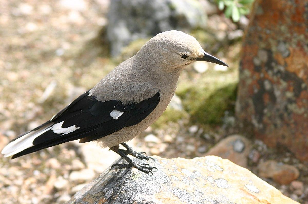 Nutcracker (bird) - Wi...
